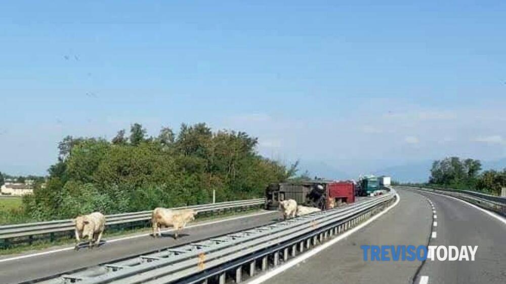 Camion con mucche e tori si rovescia, caos sulla statale