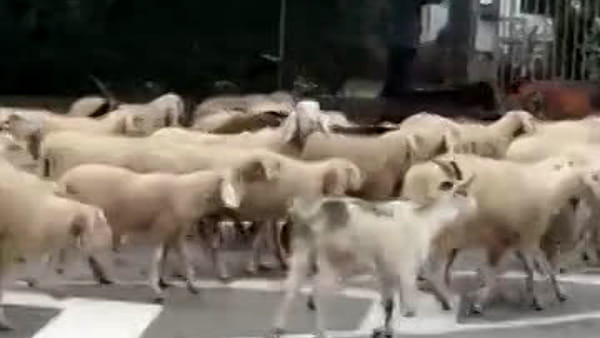 """Gregge di pecore """"invade"""" le strade di Santa Bona"""
