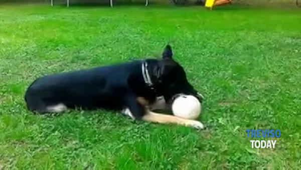 Addio a Trixie, cagnolina anti-droga della polizia locale di Treviso