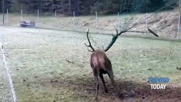 Cervo resta impigliato nella rete del campo da calcio, sedato e liberato