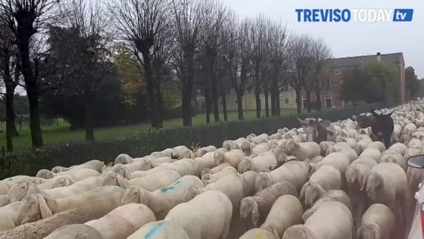 Transumanza sotto la pioggia, le pecore invadono le strade di Santa Lucia di Piave