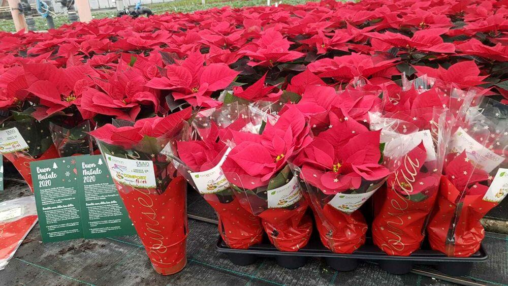 Stelle Di Natale Immagini.Solidarieta In Casa Savno In Arrivo 30 Mila Stelle Di Natale